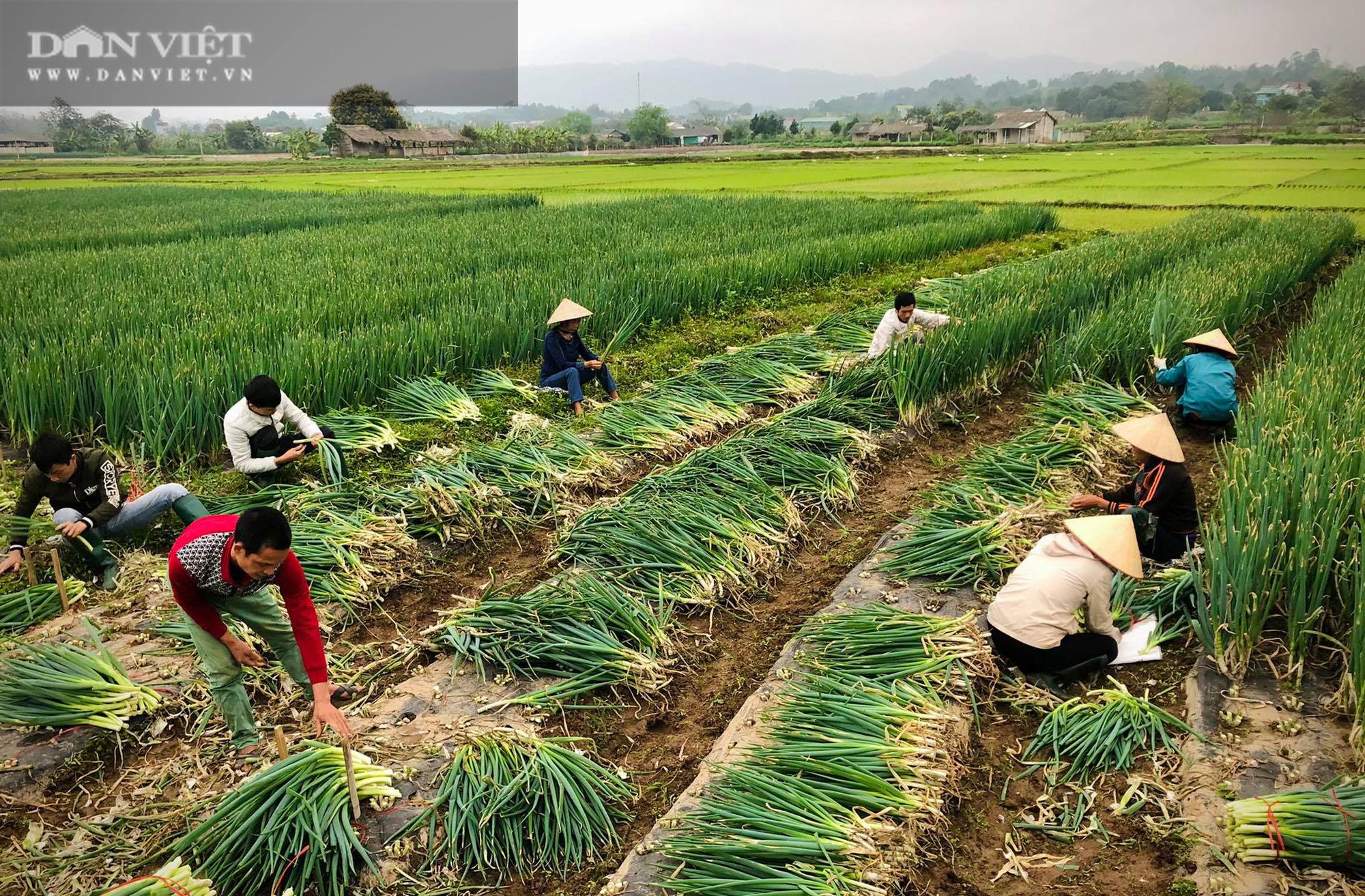 Phú Thọ: Được doanh nghiệp giải cứu, người trồng hành phấn khởi ra đồng thu hoạch mặc gió lạnh - Ảnh 2.