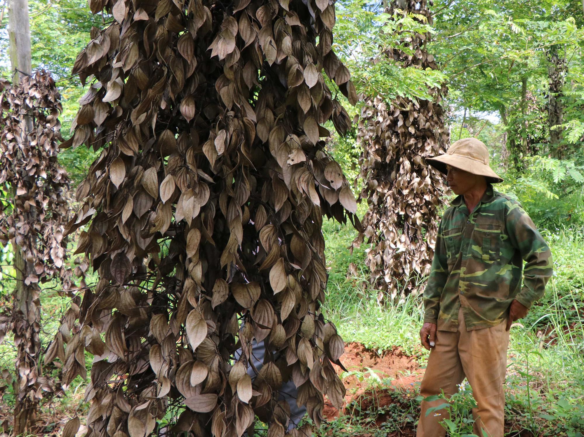Đắk Nông: Tiêu mất mùa, mất giá, nông dân khó khăn chồng chất khó khăn - Ảnh 3.