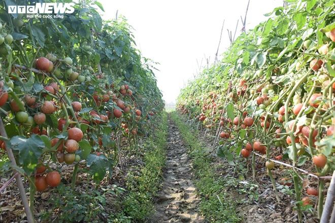 Cà chua chín đỏ đồng đúng dịch COVID-19, nông dân Chí Linh đứng ngồi không yên - Ảnh 6.