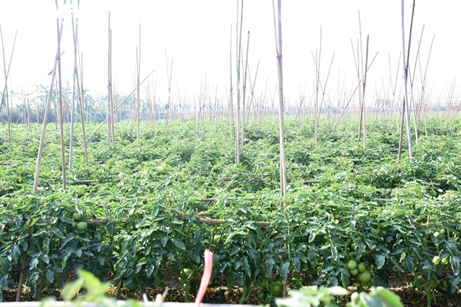 Cà chua chín đỏ đồng đúng dịch COVID-19, nông dân Chí Linh đứng ngồi không yên - Ảnh 10.