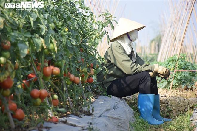 Cà chua chín đỏ đồng đúng dịch COVID-19, nông dân Chí Linh đứng ngồi không yên - Ảnh 4.