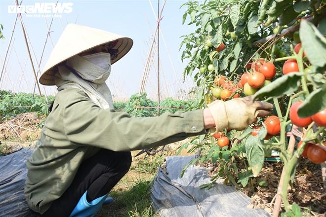 Cà chua chín đỏ đồng đúng dịch COVID-19, nông dân Chí Linh đứng ngồi không yên - Ảnh 11.