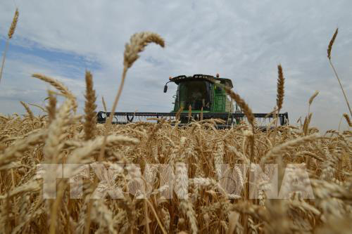 Xuất khẩu lúa mì từ Australia sang Trung Quốc tăng trưởng mạnh - Ảnh 1.