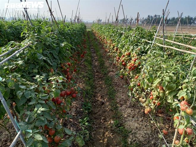 Cà chua chín đỏ đồng đúng dịch COVID-19, nông dân Chí Linh đứng ngồi không yên - Ảnh 5.