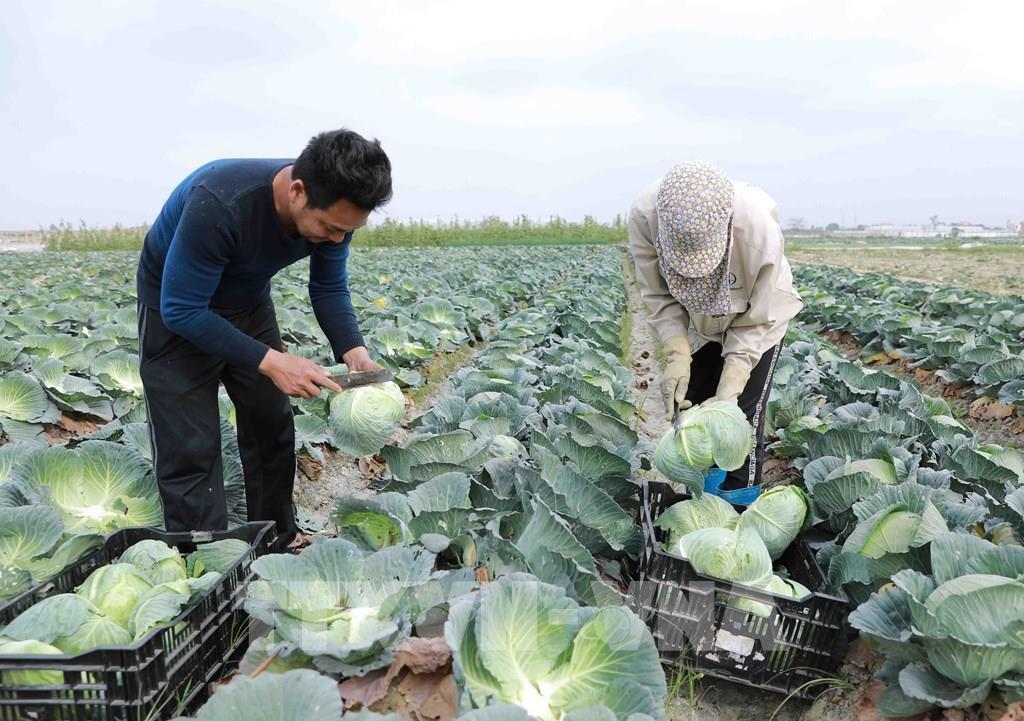 Hải Dương khẩn trương hỗ trợ tiêu thụ nông sản - Ảnh 2.