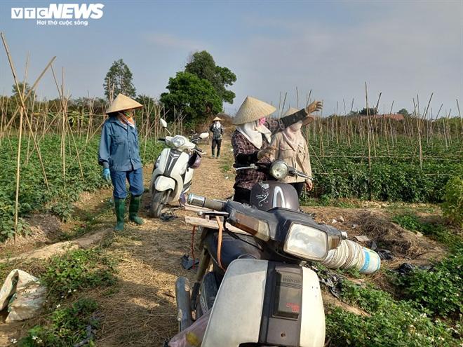 Cà chua chín đỏ đồng đúng dịch COVID-19, nông dân Chí Linh đứng ngồi không yên - Ảnh 1.