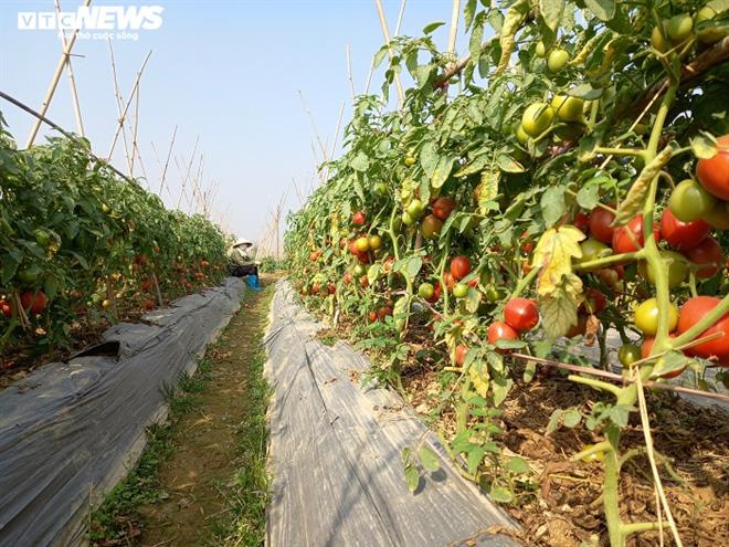 Cà chua chín đỏ đồng đúng dịch COVID-19, nông dân Chí Linh đứng ngồi không yên - Ảnh 2.