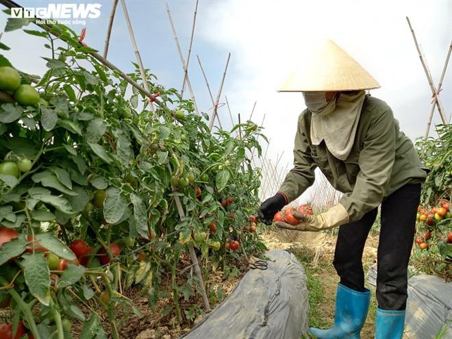 Cà chua chín đỏ đồng đúng dịch COVID-19, nông dân Chí Linh đứng ngồi không yên - Ảnh 9.