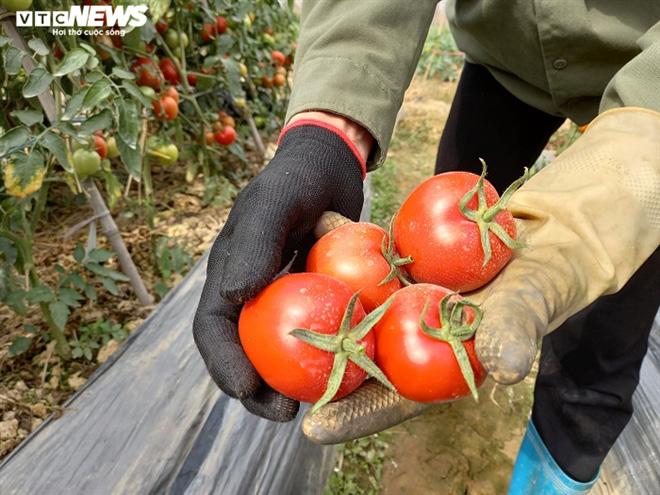 Cà chua chín đỏ đồng đúng dịch COVID-19, nông dân Chí Linh đứng ngồi không yên - Ảnh 3.