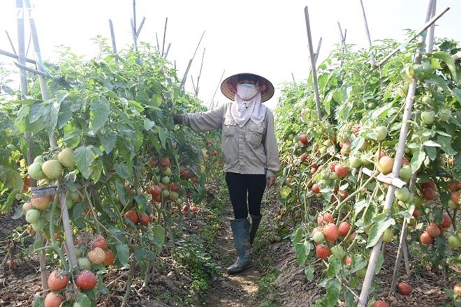 Cà chua chín đỏ đồng đúng dịch COVID-19, nông dân Chí Linh đứng ngồi không yên - Ảnh 12.