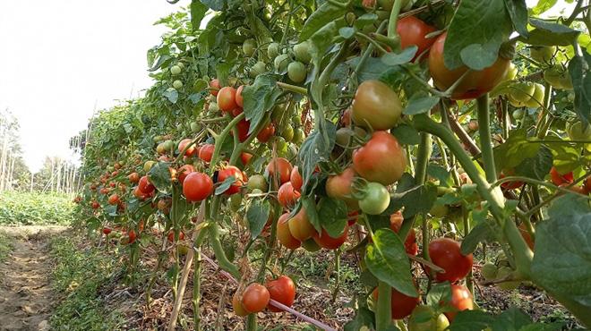 Cà chua chín đỏ đồng đúng dịch COVID-19, nông dân Chí Linh đứng ngồi không yên - Ảnh 8.