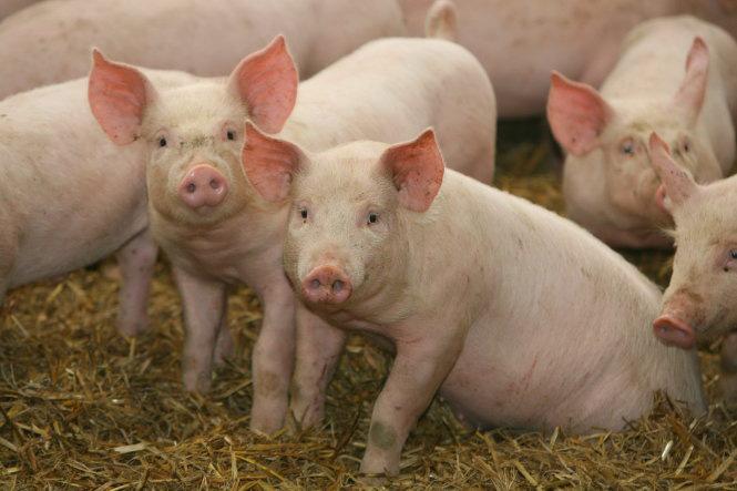 Giá nông sản hôm nay 3/2: Lợn hơi sắp xuống dưới 80.000 đồng/kg? - Ảnh 1.