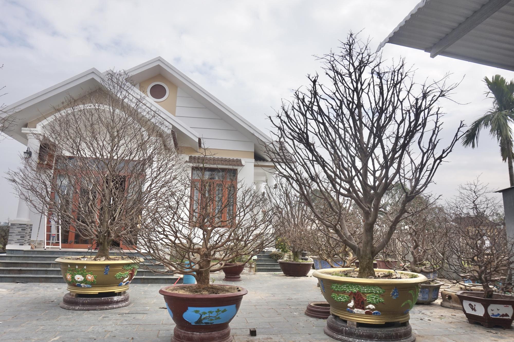 """Quảng Nam: Sở hữu vườn mai """"khủng"""", U70 được mệnh danh là """"Đệ nhất danh mai xứ Quảng"""" - Ảnh 3."""