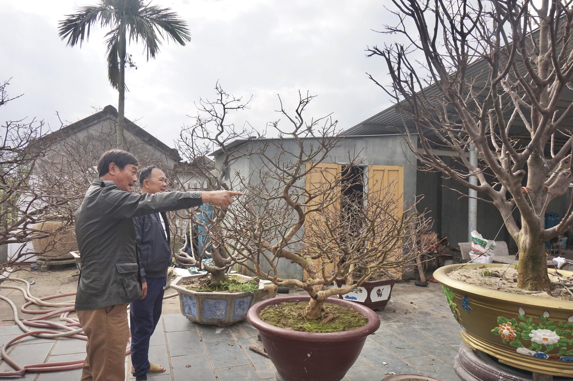 """Quảng Nam: Sở hữu vườn mai """"khủng"""", U70 được mệnh danh là """"Đệ nhất danh mai xứ Quảng"""" - Ảnh 2."""