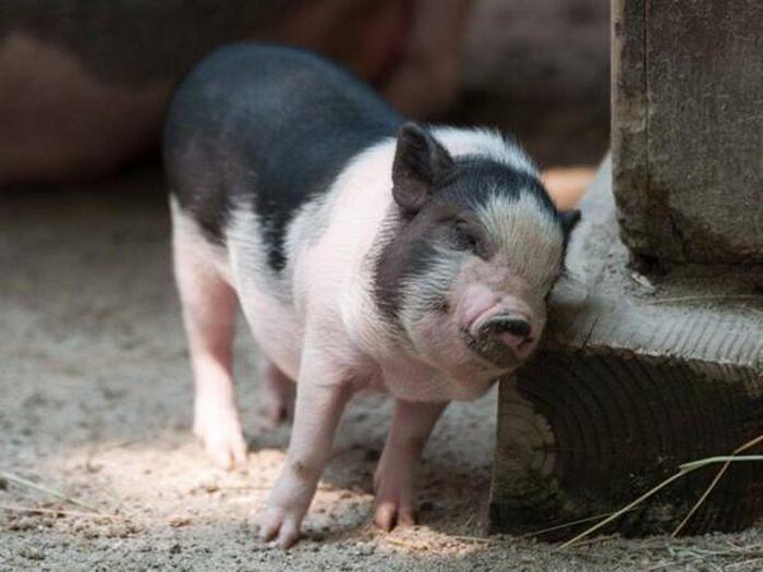 Giá nông sản hôm nay 4/2: Lợn hơi chững giá, tiêu chạm đáy 50.500đ/kg - Ảnh 1.