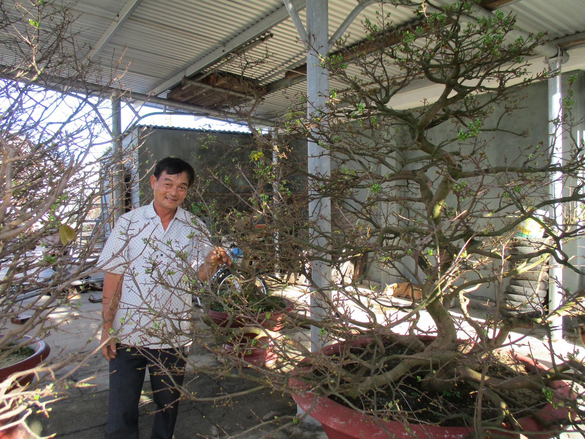 """Quảng Nam: Sở hữu vườn mai """"khủng"""", U70 được mệnh danh là """"Đệ nhất danh mai xứ Quảng"""" - Ảnh 4."""