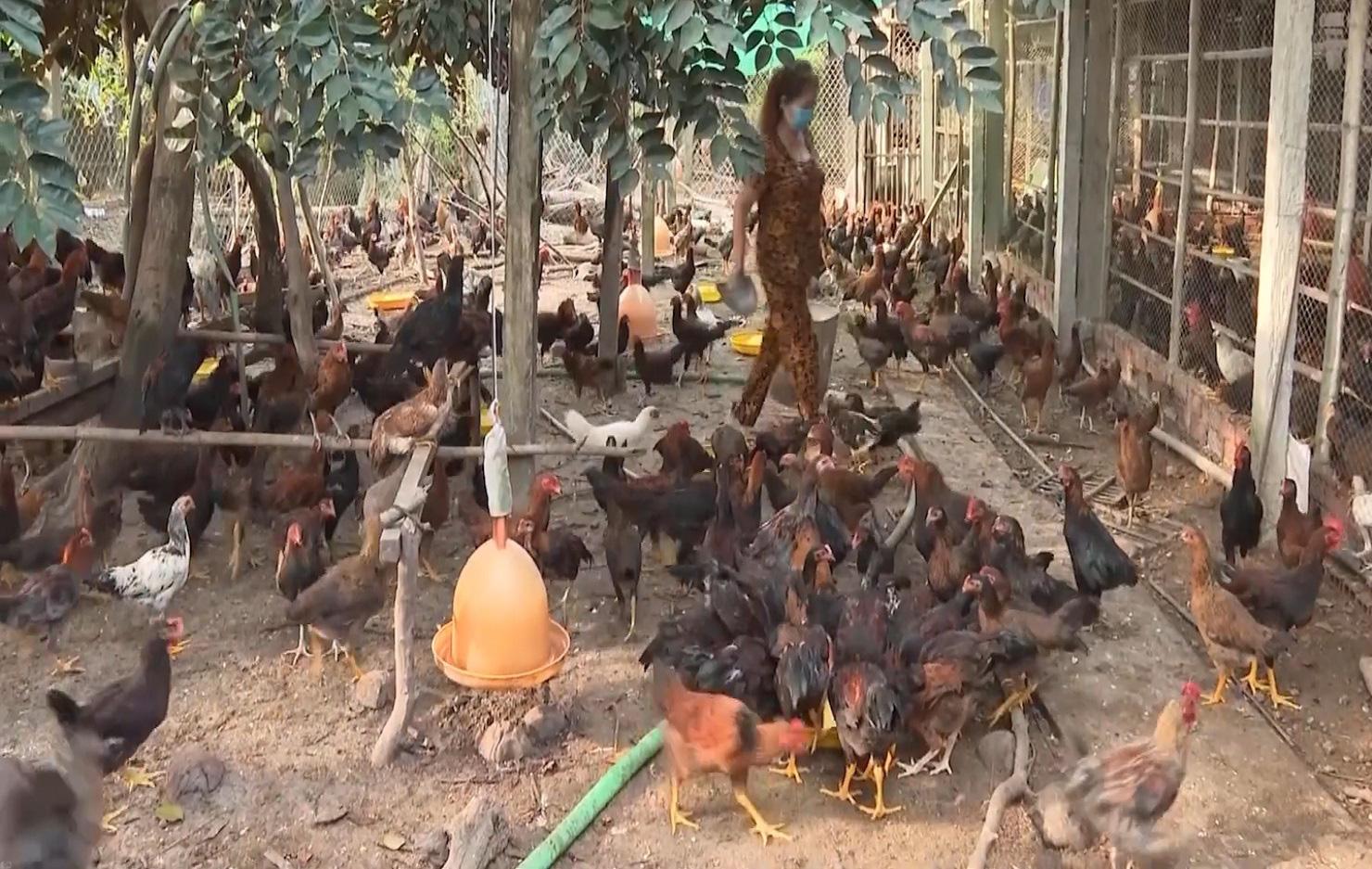 Thành phố Cần Thơ nỗ lực phát triển chăn nuôi gia súc, gia cầm - Ảnh 3.