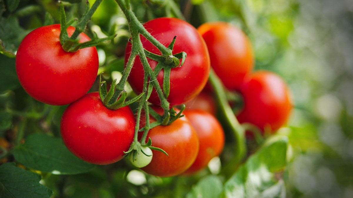 Ớt chuông, cà chua xuất khẩu sang Đài Loan nếu phát hiện có virus này sẽ bị tiêu hủy hoặc trả lại - Ảnh 1.