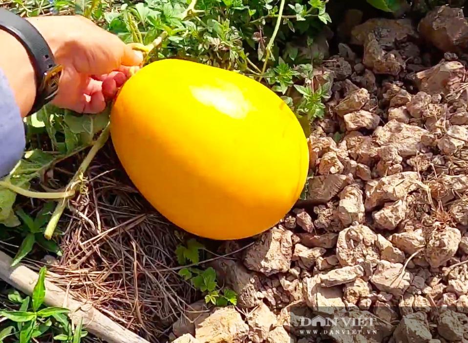 Kỳ công tạo ra dưa hấu vuông, dưa hấu thỏi vàng giá tiền triệu của nông dân miền Tây - Ảnh 7.