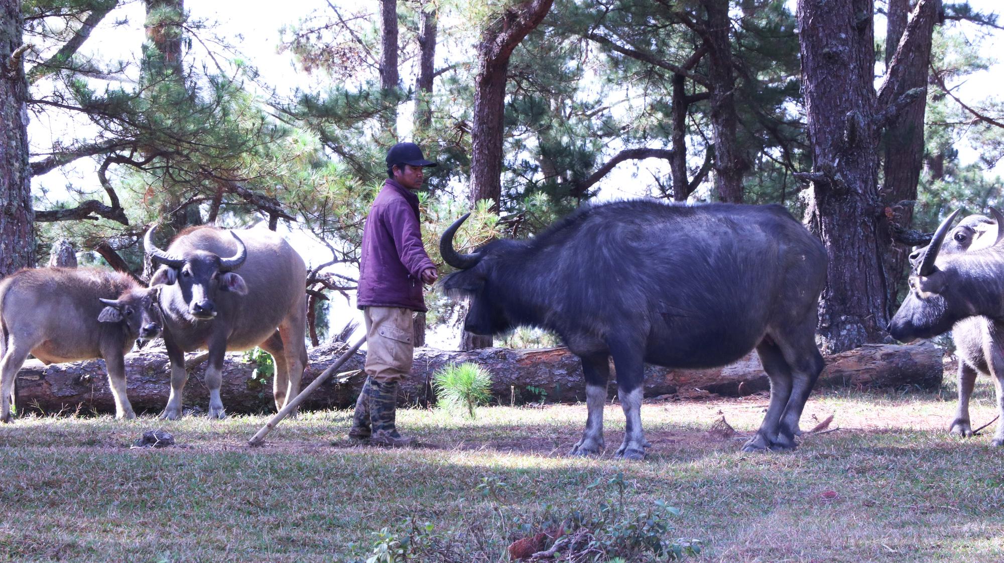 Kỳ lạ: Chàng trai thả đàn trâu hàng trăm triệu vào rừng, cả tuần mới vào thăm - Ảnh 3.