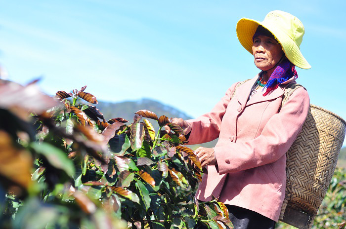 Lâm Đồng: Chủ động phòng chống bọ xít muỗi, sương muối trên cây cà phê - Ảnh 1.