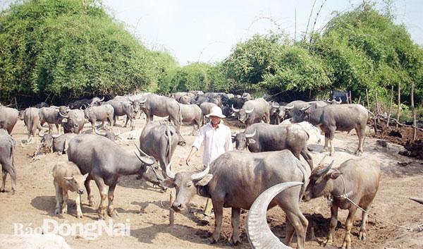 """Đồng Nai: Buồn vui nghề nuôi trâu đàn cả trăm con béo mập, kiêm """"cò đất"""" kiếm vài chục triệu - Ảnh 3."""