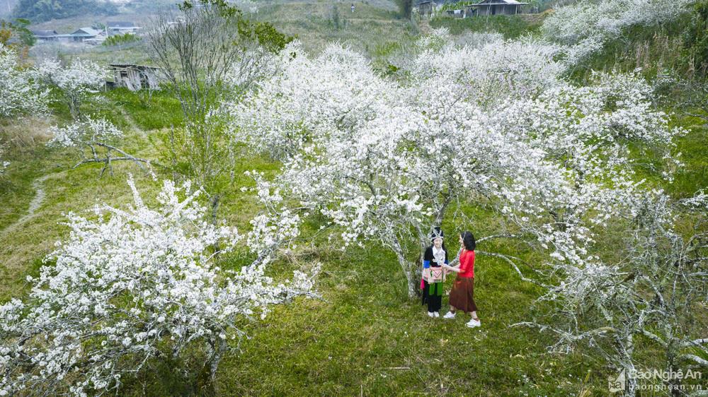 Mê mẩn với những đồi hoa mận nở trắng tinh khôi ở miền Tây Nghệ An, Mộc Châu, Vân Hồ… - Ảnh 14.