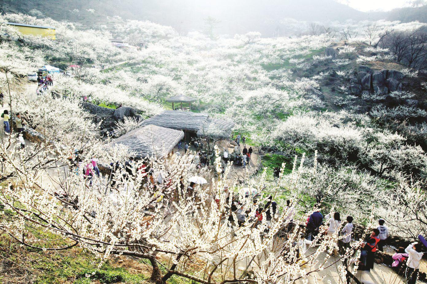 Mê mẩn với những đồi hoa mận nở trắng tinh khôi ở miền Tây Nghệ An, Mộc Châu, Vân Hồ… - Ảnh 5.