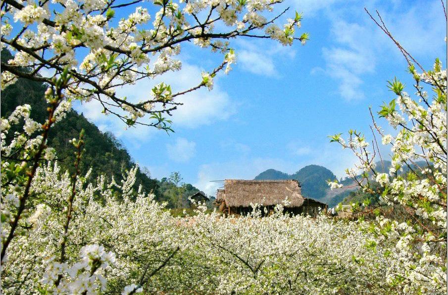 Mê mẩn với những đồi hoa mận nở trắng tinh khôi ở miền Tây Nghệ An, Mộc Châu, Vân Hồ… - Ảnh 4.