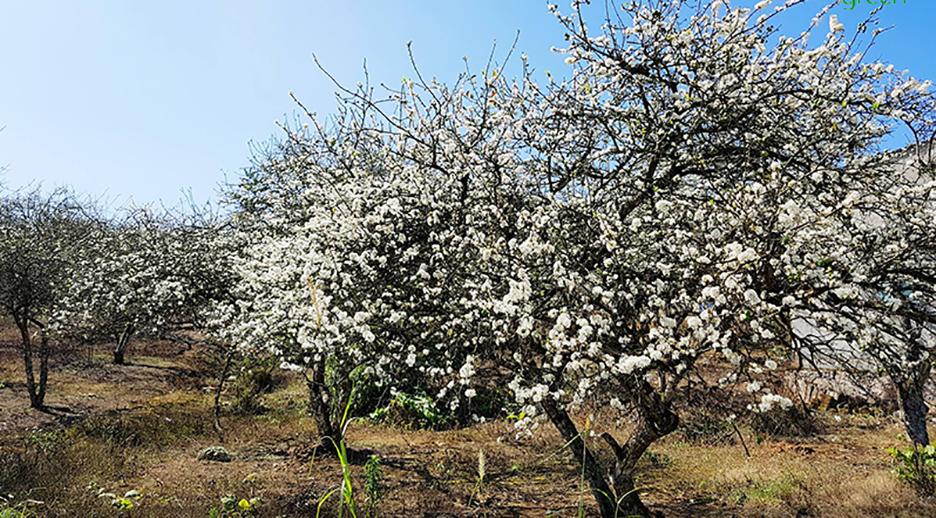 Mê mẩn với những đồi hoa mận nở trắng tinh khôi ở miền Tây Nghệ An, Mộc Châu, Vân Hồ… - Ảnh 7.