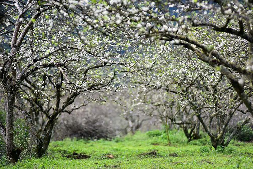 Mê mẩn với những đồi hoa mận nở trắng tinh khôi ở miền Tây Nghệ An, Mộc Châu, Vân Hồ… - Ảnh 6.