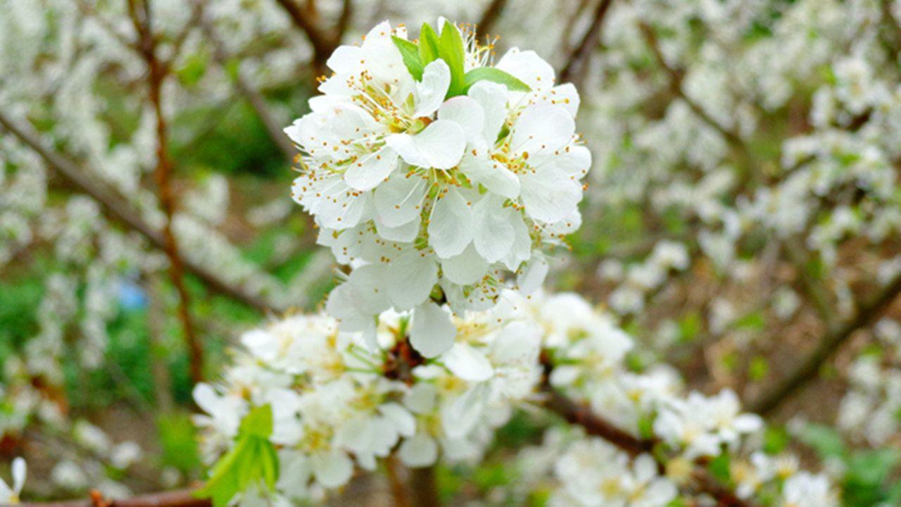 Mê mẩn với những đồi hoa mận nở trắng tinh khôi ở miền Tây Nghệ An, Mộc Châu, Vân Hồ… - Ảnh 10.