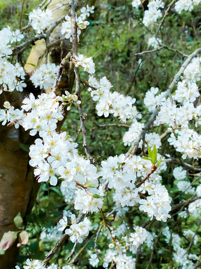 Mê mẩn với những đồi hoa mận nở trắng tinh khôi ở miền Tây Nghệ An, Mộc Châu, Vân Hồ… - Ảnh 9.