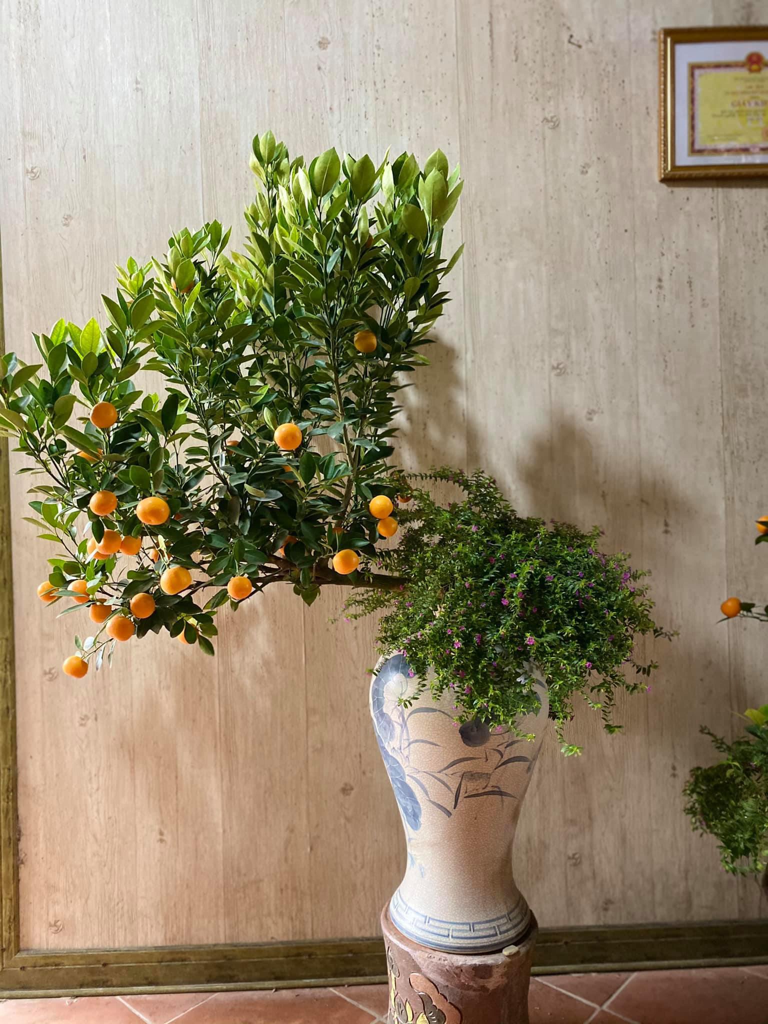 Tết Tân Sửu: Quất bonsai mini, vừa túi tiền dễ bán, dễ mua, dễ trưng bày đắt khách như tôm tươi - Ảnh 9.