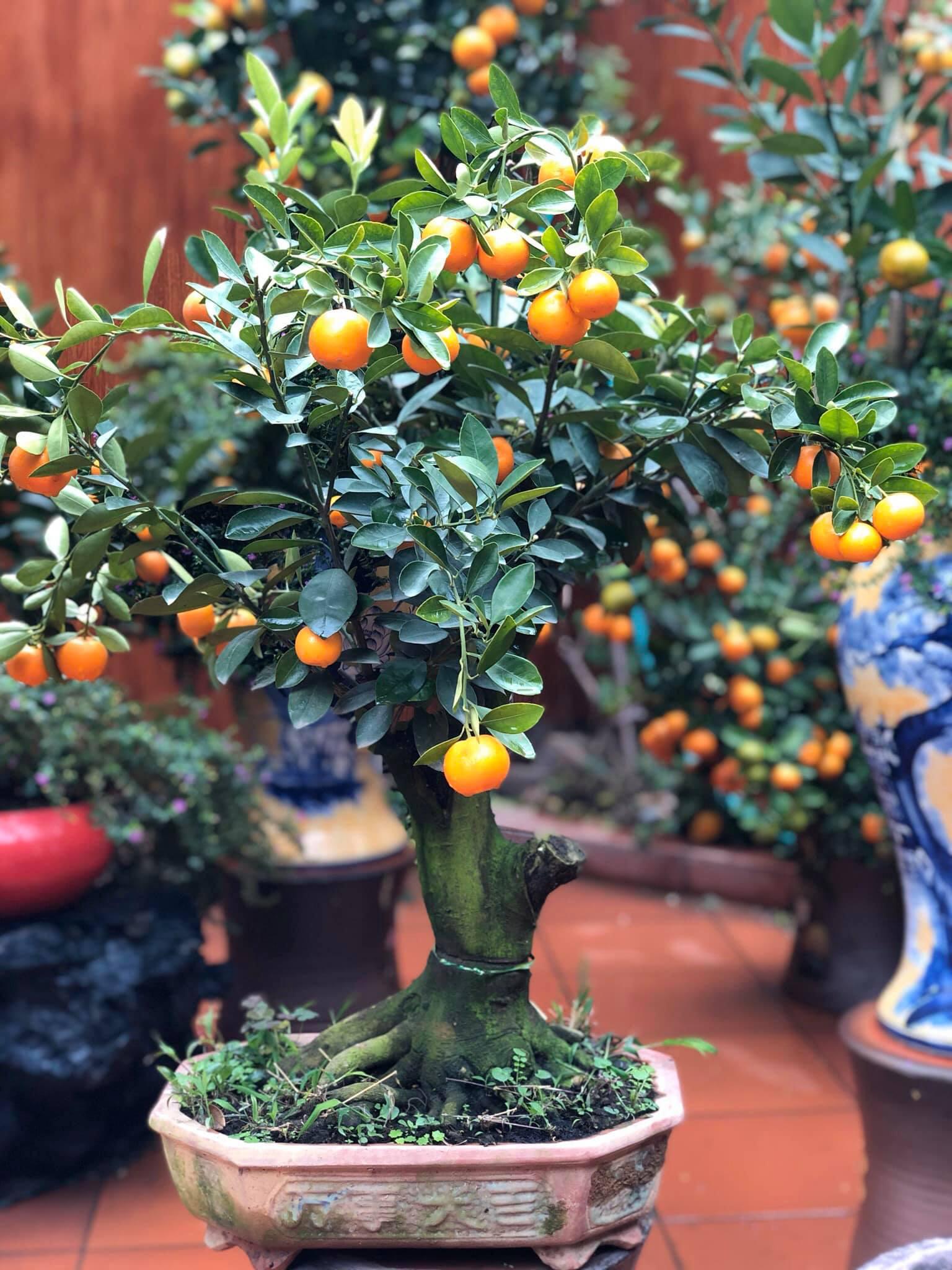 Tết Tân Sửu: Quất bonsai mini, vừa túi tiền dễ bán, dễ mua, dễ trưng bày đắt khách như tôm tươi - Ảnh 10.