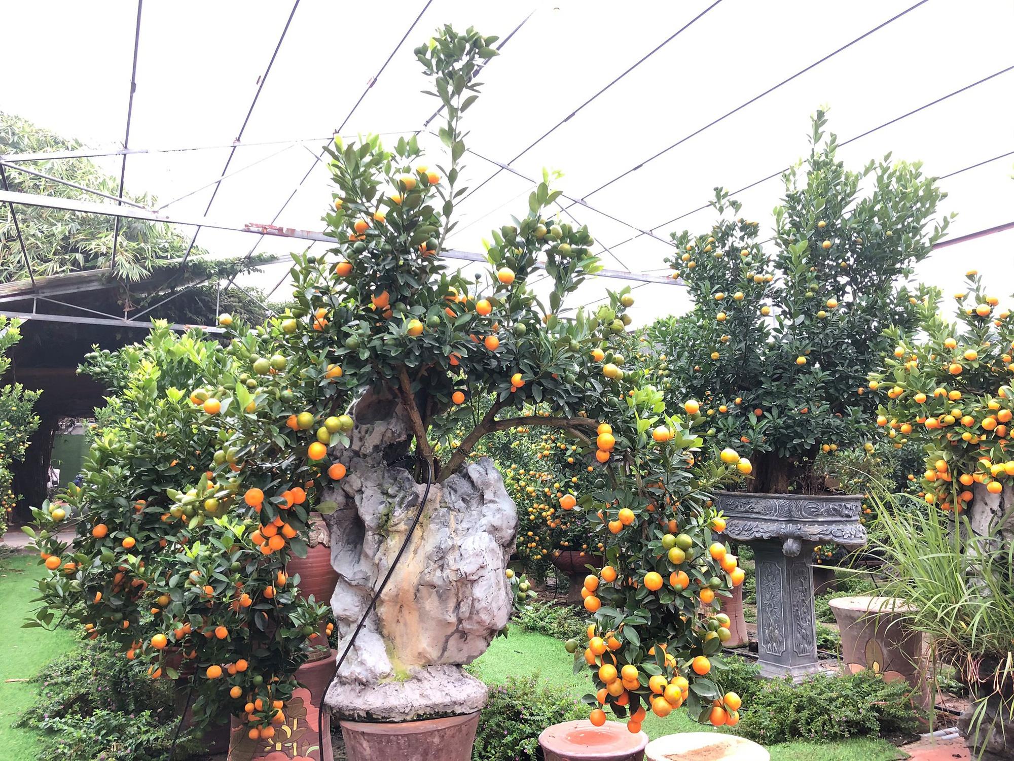 Tết Tân Sửu: Quất bonsai mini, vừa túi tiền dễ bán, dễ mua, dễ trưng bày đắt khách như tôm tươi - Ảnh 11.