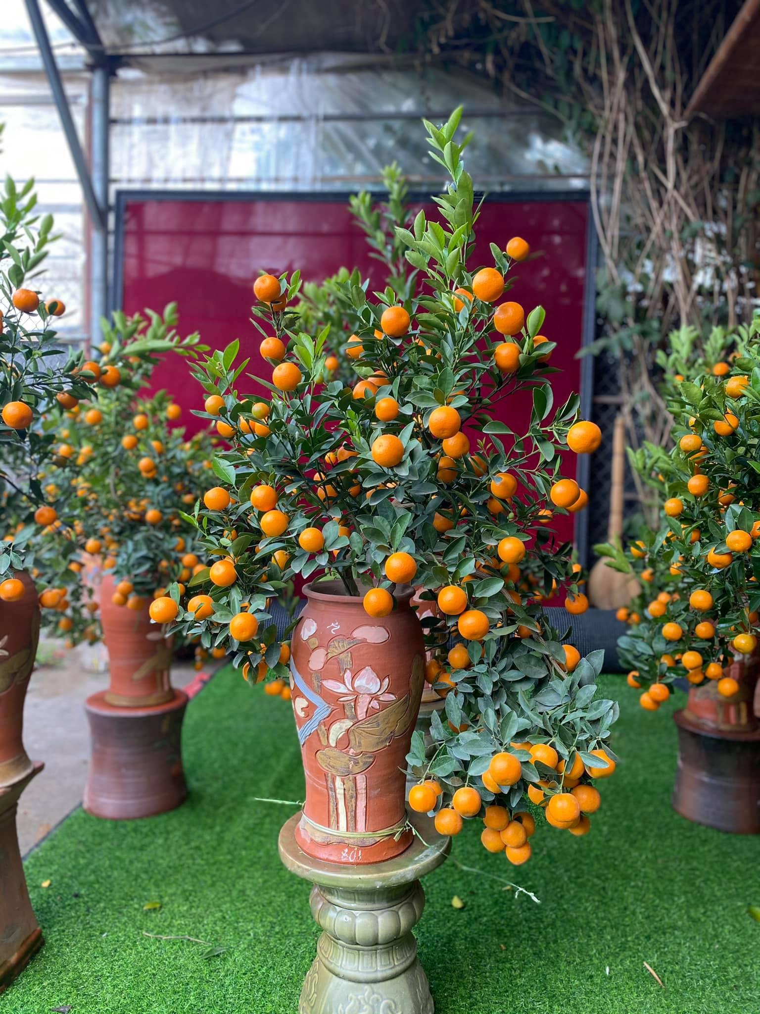 Tết Tân Sửu: Quất bonsai mini, vừa túi tiền dễ bán, dễ mua, dễ trưng bày đắt khách như tôm tươi - Ảnh 12.