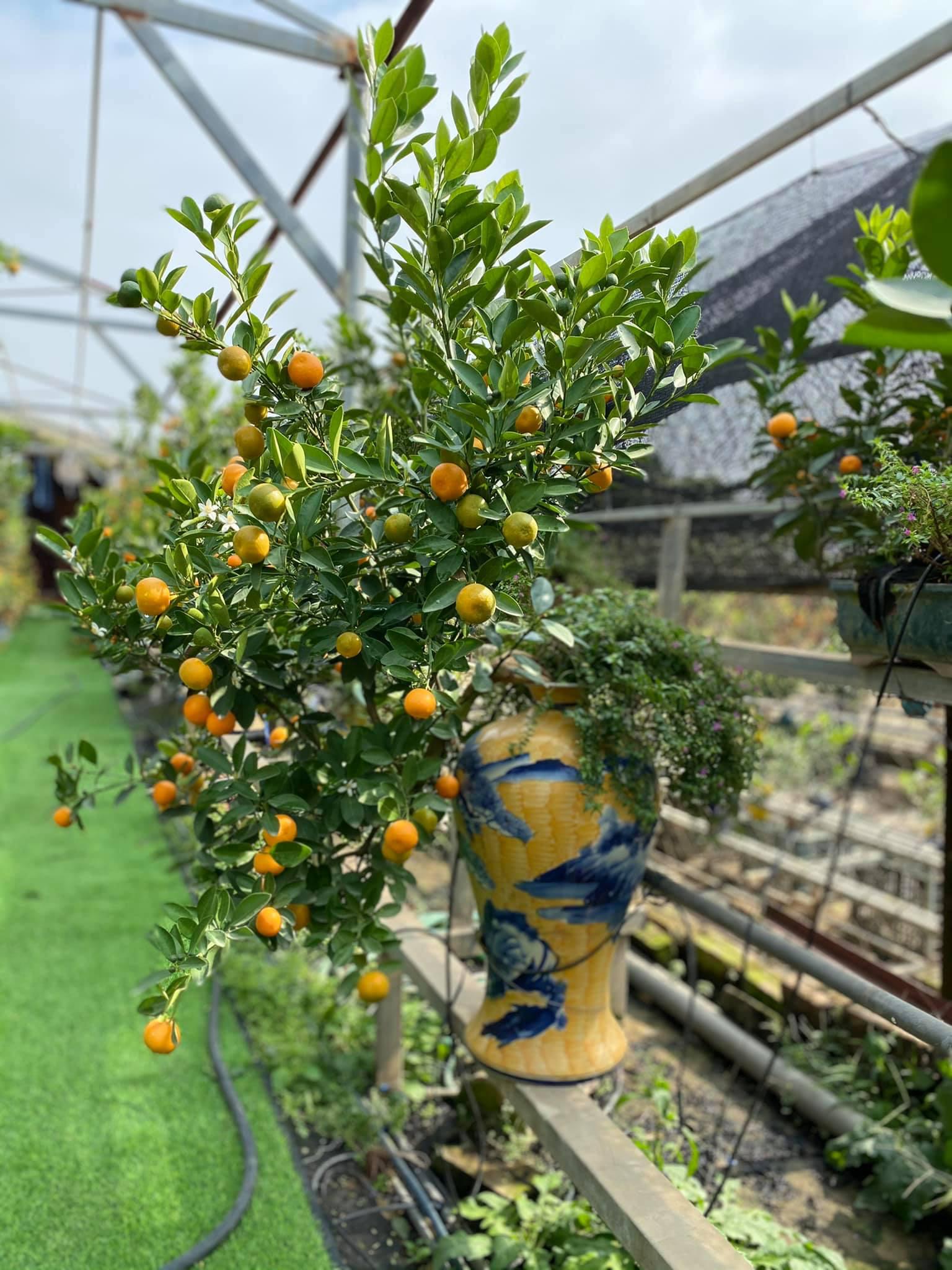Tết Tân Sửu: Quất bonsai mini, vừa túi tiền dễ bán, dễ mua, dễ trưng bày đắt khách như tôm tươi - Ảnh 1.