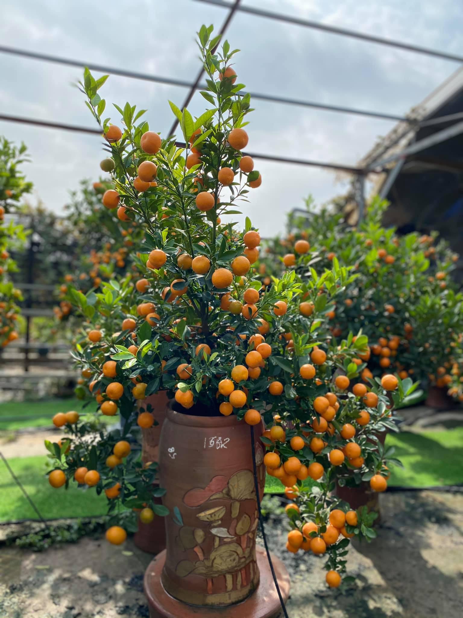 Tết Tân Sửu: Quất bonsai mini, vừa túi tiền dễ bán, dễ mua, dễ trưng bày đắt khách như tôm tươi - Ảnh 3.