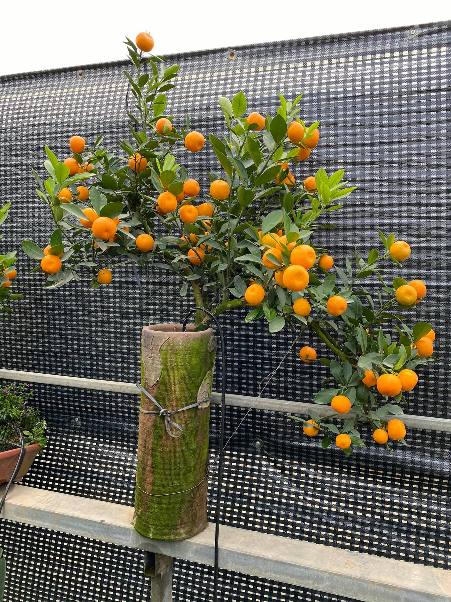 Tết Tân Sửu: Quất bonsai mini, vừa túi tiền dễ bán, dễ mua, dễ trưng bày đắt khách như tôm tươi - Ảnh 5.