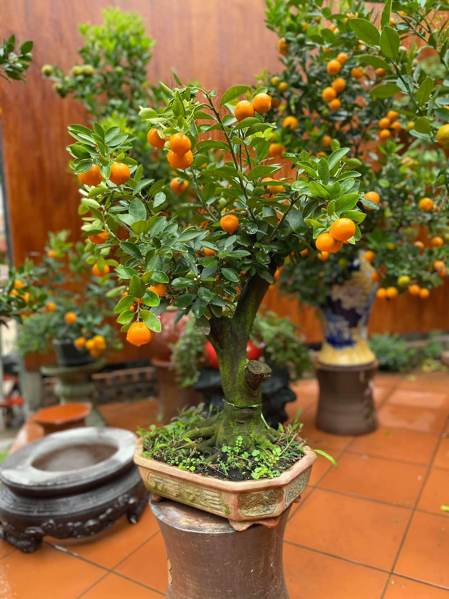 Tết Tân Sửu: Quất bonsai mini, vừa túi tiền dễ bán, dễ mua, dễ trưng bày đắt khách như tôm tươi - Ảnh 6.
