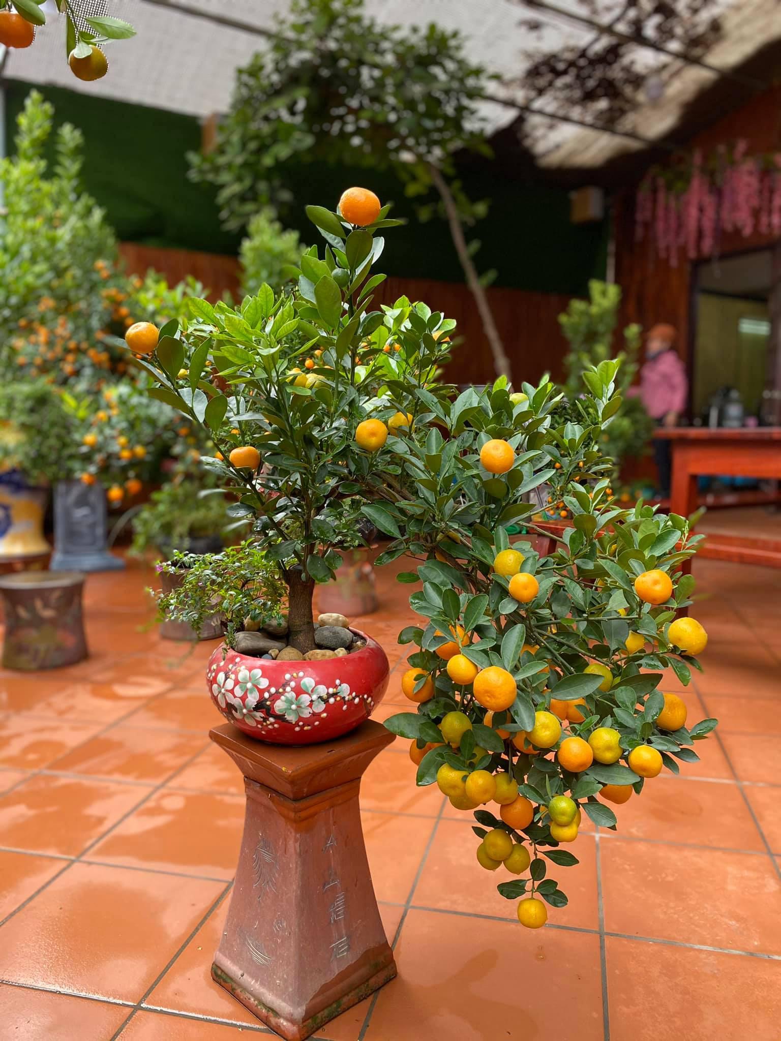 Tết Tân Sửu: Quất bonsai mini, vừa túi tiền dễ bán, dễ mua, dễ trưng bày đắt khách như tôm tươi - Ảnh 7.