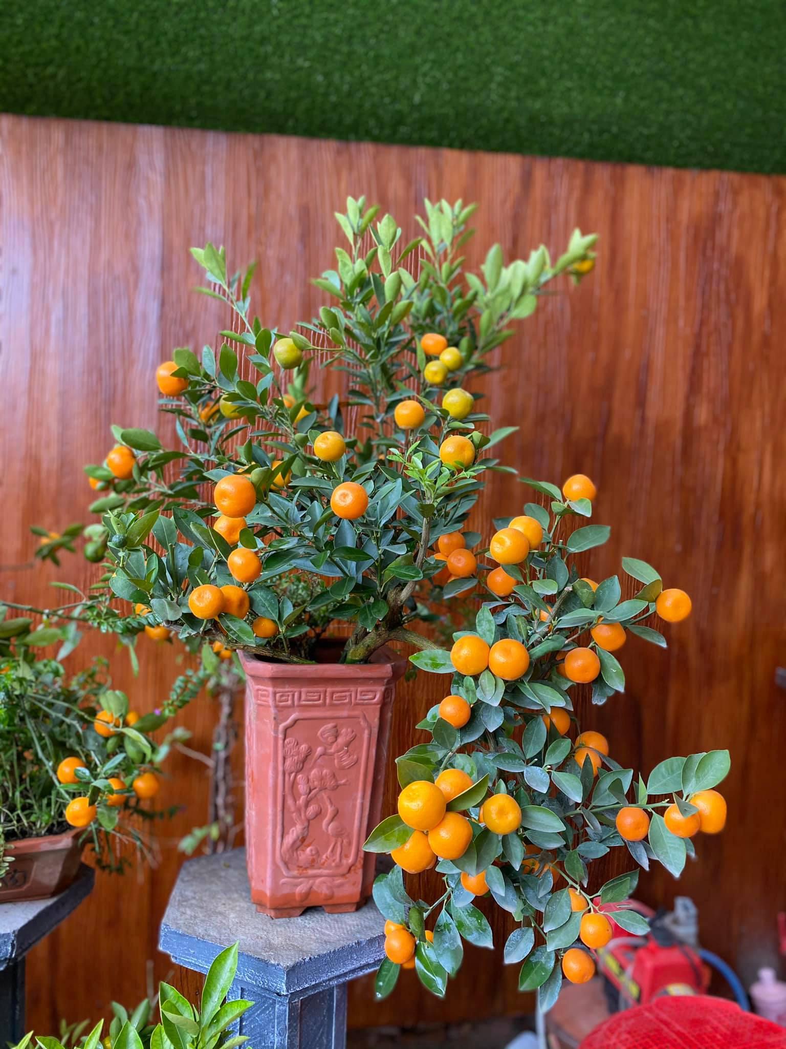 Tết Tân Sửu: Quất bonsai mini, vừa túi tiền dễ bán, dễ mua, dễ trưng bày đắt khách như tôm tươi - Ảnh 8.
