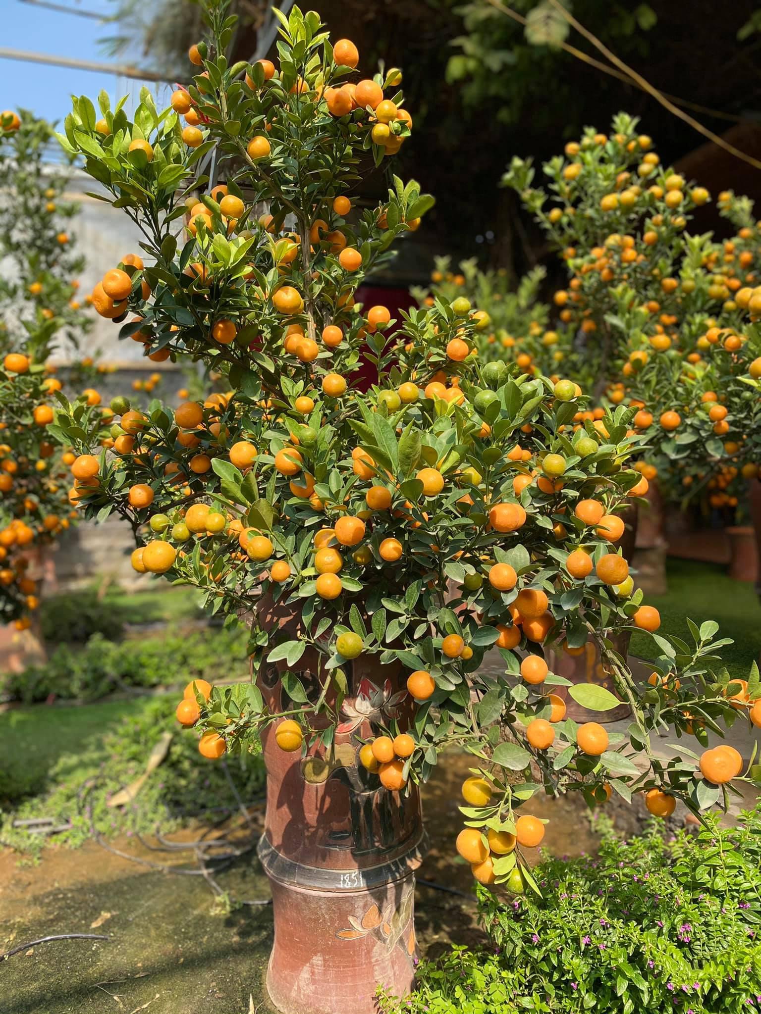 Tết Tân Sửu: Quất bonsai mini, vừa túi tiền dễ bán, dễ mua, dễ trưng bày đắt khách như tôm tươi - Ảnh 13.