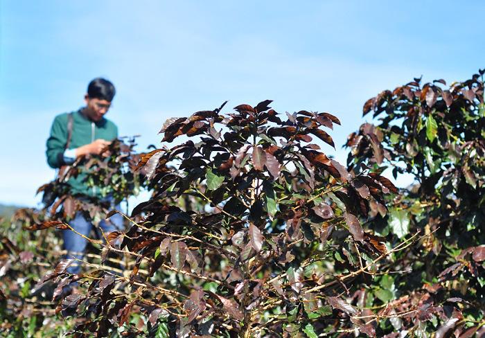 Lâm Đồng: Chủ động phòng chống bọ xít muỗi, sương muối trên cây cà phê - Ảnh 3.