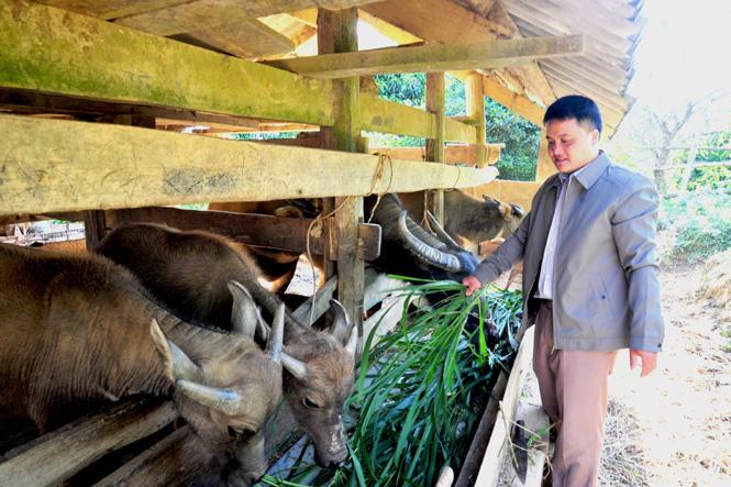 Tuyên Quang: Nuôi ngựa bạch, nuôi trâu béo, bà Chủ tịch, ông Chủ tịch ở Khau Tình giàu lên - Ảnh 2.