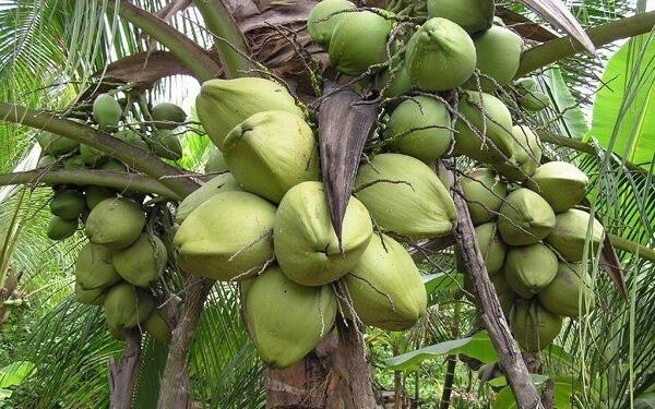 Trà Vinh: Trái dừa sáp đặc sản đem làm mứt Tết, giá 400 ngàn đồng/ký vẫn không có mà mua - Ảnh 5.