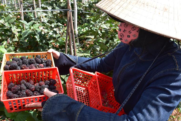 Lâm Đồng: Quả dại đen xì từng chả ai ngó ngàng, du nhập từ châu Âu, khách xôn xao mua về ăn  - Ảnh 3.