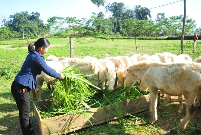 Tuyên Quang: Nuôi ngựa bạch, nuôi trâu béo, bà Chủ tịch, ông Chủ tịch ở Khau Tình giàu lên - Ảnh 1.
