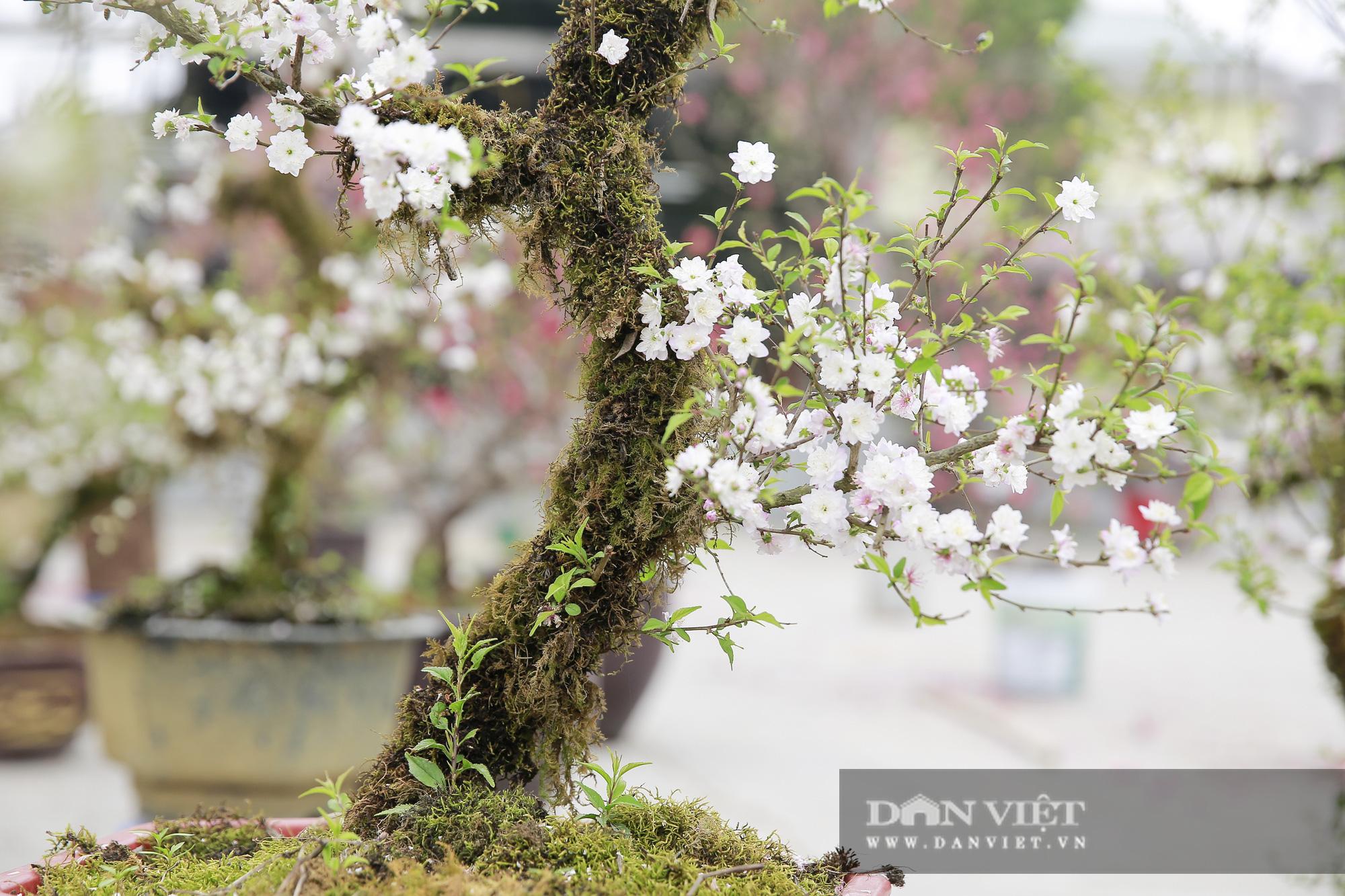 """Loài cây quý hiếm để trong nhà là """"sang"""" hút khách dịp Tết Nguyên đán - Ảnh 10."""